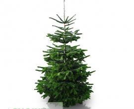 Caucasian fir