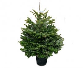 Caucasian fir in a POT