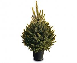 Blue spruce in a POT